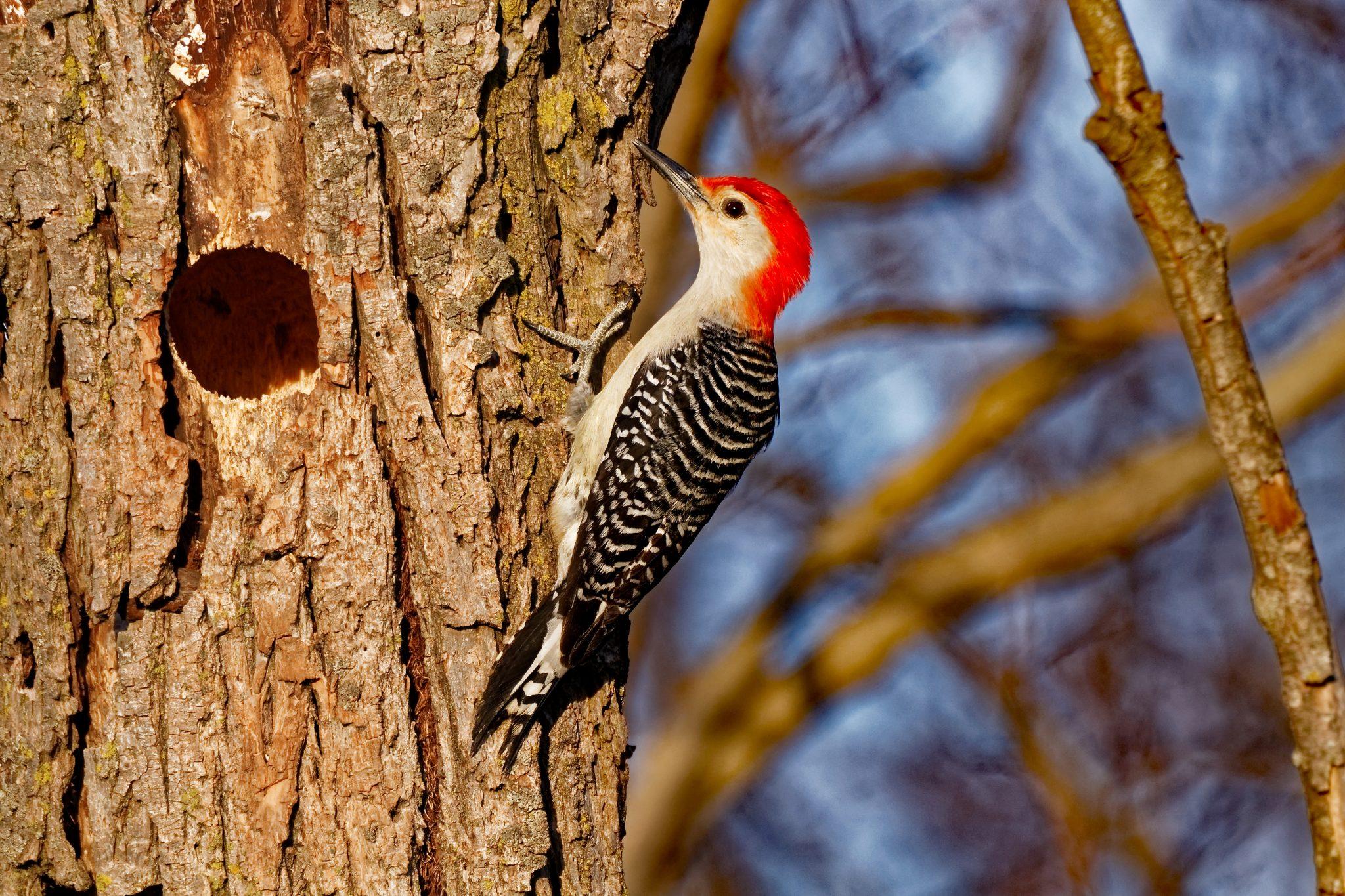 Woodpeckers and Brain Damage - reSource Wellness LLC